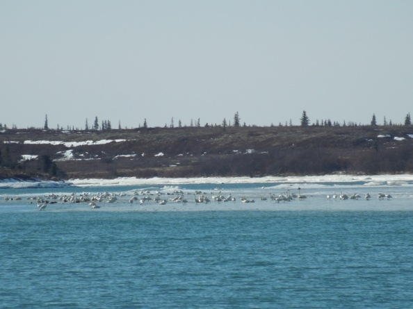 Swans on the Naknek River